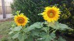 Semena 9ti druhů slunečnic